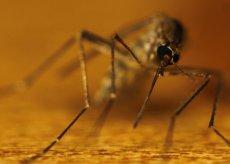 komar w powiększeniu